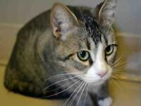 """Young Female Cat - Domestic Short Hair: """"RUDY"""""""