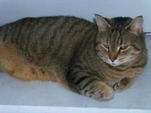 "Adult Male Cat - Tabby - Grey: ""Lucky"""