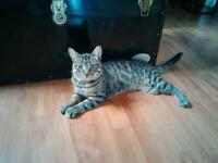 """Young Male Cat - Domestic Short Hair: """"Pirate"""""""