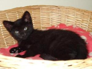 "Baby Male Cat - Domestic Short Hair-black: ""Monty"" Cambridge Kitchener Area image 2"