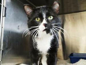 "Adult Male Cat - Tuxedo: ""Clyde"""