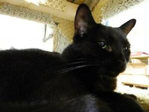 "Adult Female Cat - Domestic Short Hair - brown: ""Skugga"""
