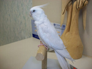 ❤❤ Extremely Friendly COCKATIEL Babies With CAGE ❤❤ Stratford Kitchener Area image 7