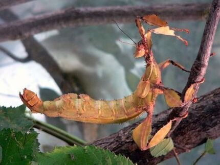 Spiny Leaf Stick Insects for sale Queens Park Eastern Suburbs Preview