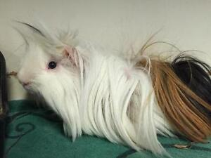 "Adult Male Small & Furry - Silkie / Sheltie: ""Napoleon & Kip"""