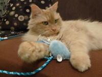"Senior Male Cat - Domestic Long Hair - orange: ""Nini"""