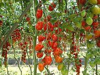 Plum Cherry 'Daterino' F1 tomato plants - red
