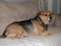 "Adult Female Dog - Terrier: ""Leia"""