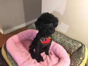 """Young Male Dog - Poodle: """"Ozzie"""""""