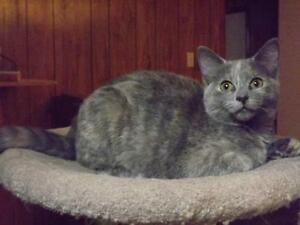 """Young Female Cat - Domestic Short Hair: """"T-Cup"""""""