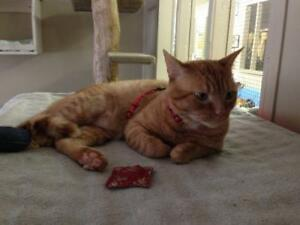 "Young Male Cat - Tabby (Orange): ""Terry Fox"""
