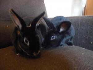 """Adult Female Rabbit - Rex: """"Victoria and Hope"""""""
