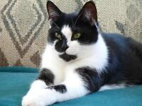 "Adult Female Cat - Domestic Short Hair: ""Sophie"""