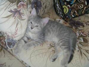 "Young Male Cat - Tabby - Grey: ""Squeeky"""