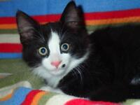 Baby Male  - Domestic Long Hair-black and white-Maine Coon