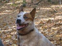 "Adult Male Dog - Australian Cattle Dog (Blue Heeler): ""Tank"""
