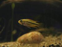 Cockatoo Cichlid Aquarium fish
