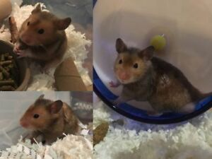 """Adult Male Small & Furry - Hamster: """"Quinten"""""""