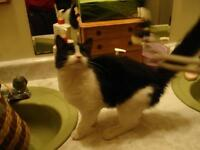 "Young Female Cat - Domestic Medium Hair-black and white: ""Oreo"""