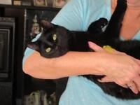 """Young Male Cat - Bombay-Domestic Short Hair: """"BOBBY"""""""