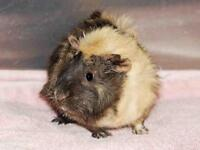 "Adult Female Small & Furry - Guinea Pig: ""IZZY"""