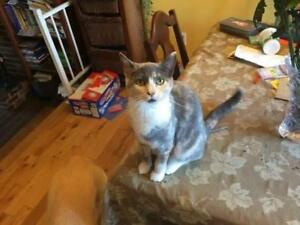 "Young Female Cat - Dilute Calico: ""Isabel"""
