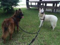 """Young Male Dog - Spitz-Jindo: """"Tani And RooRoo (Bonded Pair)"""""""