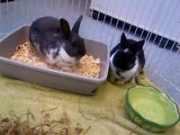 "Young Male Rabbit - Dwarf: ""Brooklyn & Kentucky (BONDED)"""