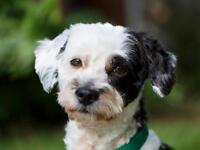 """Adult Male Dog - Poodle-Terrier: """"Murphy"""""""