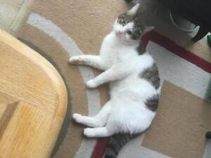"""Adult Male Cat - Domestic Short Hair - gray and white: """"Romeo"""""""