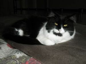 "Adult Female Cat - Domestic Long Hair-Tuxedo: ""Geena"""