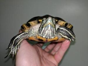 """Young Male Scales, Fins & Other - Turtle: """"Rudy"""""""