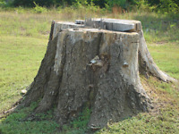 **TREE BOSS** Stump Grinding