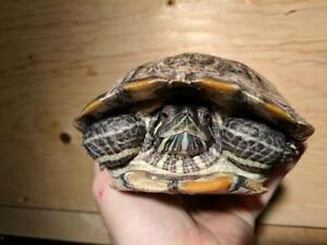 """Adult Female Scales, Fins & Other - Turtle: """"Pepsi"""""""