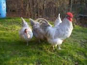 Orpington Hatching Eggs