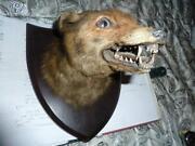 Taxidermy Fox Head