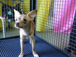 "Young Female Dog - Chihuahua: ""Lucy-ChiChi"""