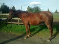 "Young Male Horse - Thoroughbred: ""Fireinthesky"""