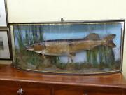Taxidermy Cased Fish