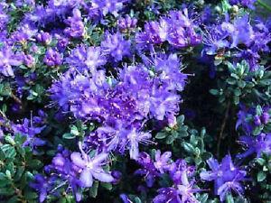 Zwergrhododendron  Rhododendron impeditum `Gristede`