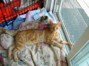 "Young Male Cat - Domestic Short Hair-orange: ""Tiger"" Kawartha Lakes Peterborough Area image 2"