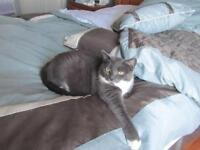 """Adult Female Cat - Domestic Short Hair - gray and white: """"Misty"""""""