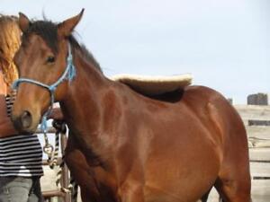 "Young Male Horse - Quarterhorse: ""Stanley"""