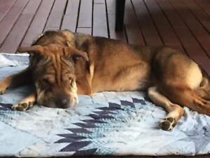 "Adult Female Dog - Shar Pei: ""New- Lola"""