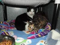 "Adult Female Cat - Domestic Short Hair: ""Rosalee"""