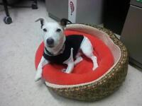 "Senior Male Dog - Jack Russell Terrier: ""Jack"""