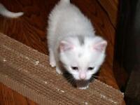 """Baby Male Cat - Domestic Short Hair-white: """"Smudge"""""""