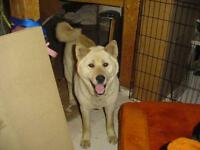 "Young Female Dog - Akita: ""Molly"""