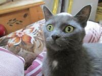 """Young Female Cat - Domestic Short Hair: """"Storm 15 (Shed)"""""""