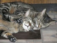 """Young Female Cat - Tabby - Brown: """"Adam & Eve"""""""
